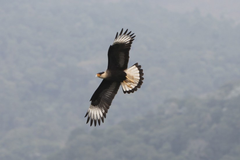 hawk_bird_prey_animal_nature-1089354.jpg