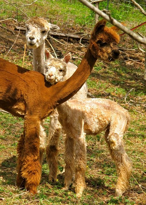 alpacas-1943703_960_720