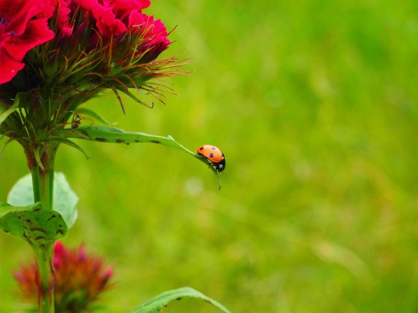 ladybug-1271961_1280