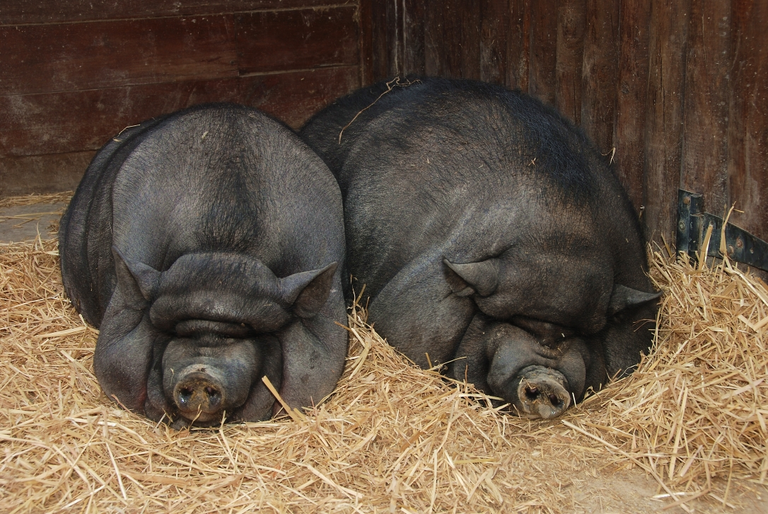 Pigs_July_2008-1